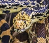 Closeup Of A Bullsnake Photo By: Sauntering Photographer Https://creativecommons.org/licenses/by/2.0/