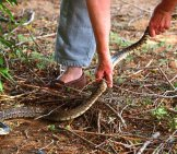 Large Bullsnake Being Moved To The Garden Photo By: Louis Https://creativecommons.org/licenses/by/2.0/