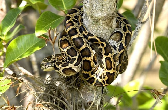 Burmese python in a tree