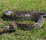 Burmese Python In The Yard