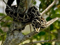 Burmese python perched in a tree