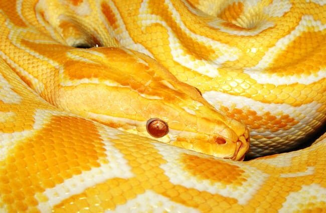 Yellow Burmese python Photo by: Tambako The Jaguar https://creativecommons.org/licenses/by-nd/2.0/