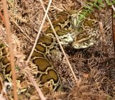 Well-Camouflaged Burmese Python Photo By: Florida Fish And Wildlife Https://creativecommons.org/licenses/by-Nd/2.0/