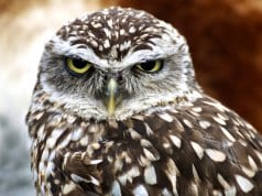 Beautiful burrowing owl