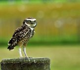 Burrowing Owl On A Tree Stump