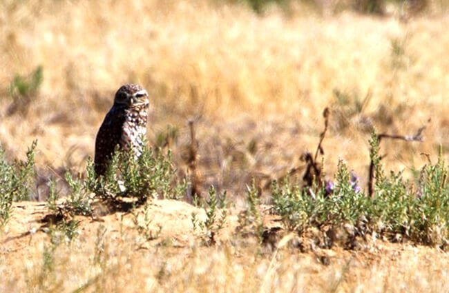Burrowing owl standing watch over its burrow