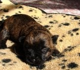Cairn Terrier Puppy On A Blanket.