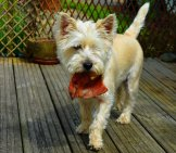 Cairn Terrier With A Rawhide Chew.