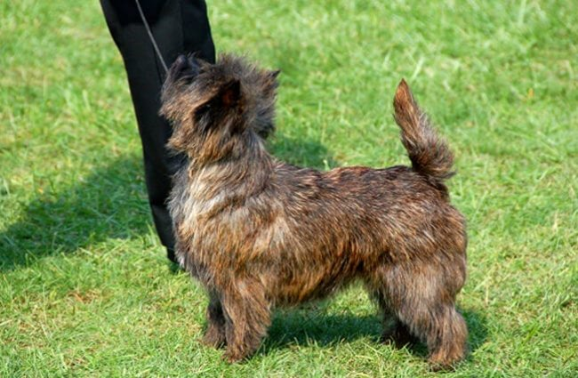 Cairn Terrier in the show ring. Photo by: Brad L. https://creativecommons.org/licenses/by-sa/2.0/