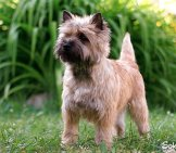 Portrait Of A Cairn Terrier In The Garden.photo By: Peter Baelehttps://creativecommons.org/licenses/by-Sa/2.0/