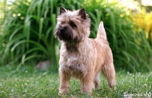 Portrait of a Cairn Terrier in the garden.Photo by: peter baele//creativecommons.org/licenses/by-sa/2.0/