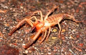 Closeup of a Sun Spider (Camel Spider)Photo by: (c) MountainKing www.fotosearch.com