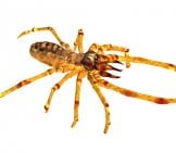 Camel Spider Illustrationphoto By: (C) Miro3D Www.fotosearch.com