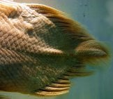 The Caudal Fin Of A Coelacanth Photo By: By Pascalou Petit Cc By-Sa 3.0 //creativecommons.org/licenses/by-Sa/3.0