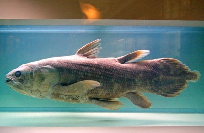 Coelacanth display at the Natural History Museum of Nantes Photo by: Daniel Jolivet //creativecommons.org/licenses/by/2.0/