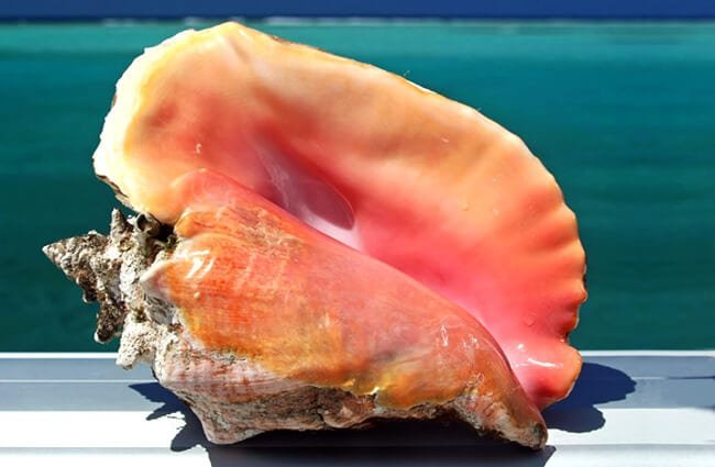 Conch shell from the Caribbean Photo by: (c) lionstrong www.fotosearch.com