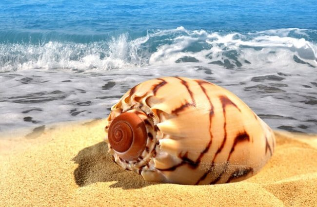Conch shell on the beach Photo by: (c) vencavolrab www.fotosearch.com