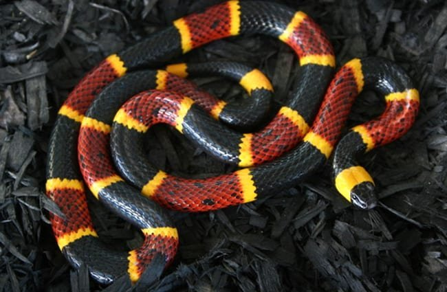 A large coral snake - Notice the red bands touching the yellowPhoto by: (c) zebraman777 www.fotosearch.com