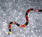 Coral Snake Photo By: Everglades Nps, Public Domain