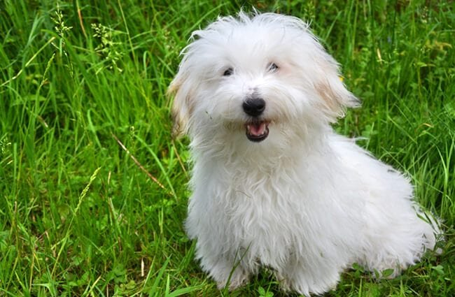 Coton de Tulear posing in the yard
