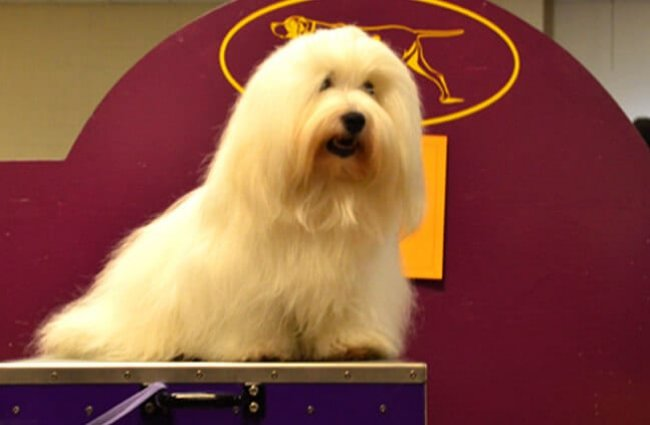 Coton de Tulear on the grooming table at a dog show Photo by: Petful //www.petful.com/