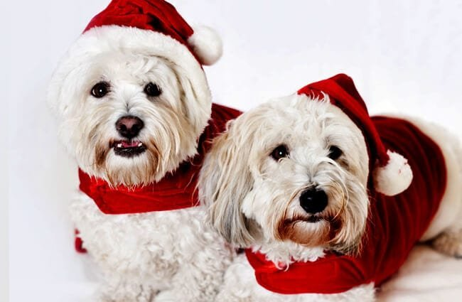 A pair of Coton de Tulear dogs dressed for the holidays Photo by: (c) Elenathewise www.fotosearch.com