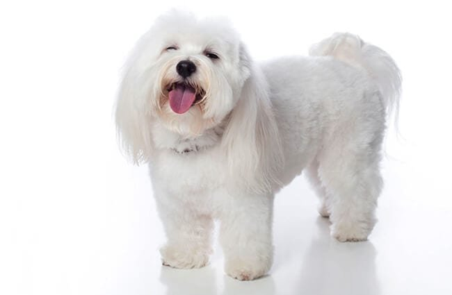 White Coton de Tulear smiling for the cameraPhoto by: (c) Katitude www.fotosearch.com
