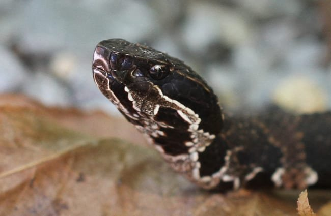 Closeup of a cottonmouth's head Photo by: Greg Schechter //creativecommons.org/licenses/by-nd/2.0/