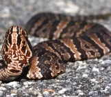 Cottonmouth In The Roadwayphoto By: Brian Garrett//creativecommons.org/licenses/by-Nd/2.0/