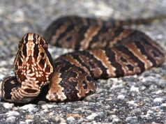 Cottonmouth in the roadwayPhoto by: Brian Garretthttps://creativecommons.org/licenses/by-nd/2.0/