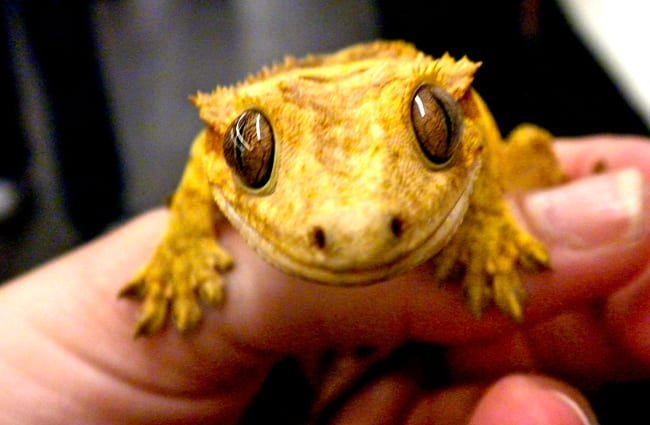 Tiny Crested Gecko