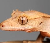 Closeup Of A Crested Gecko's Face