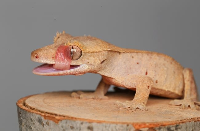 Crested Gecko cleaning its eye with its tongue