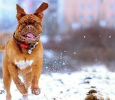 Dogue De Bordeaux Playing In The Snow.
