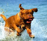 Dogue De Bordeaux Playing In The Lake Water.french Mastiff