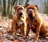 Dogues De Bordeaux (French Mastiffs) Posing In The Forest.