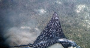 Spotted Eagle Ray skimming the ocean floorPhoto by: Paul Asman and Jill Lenoblehttps://creativecommons.org/licenses/by/2.0/