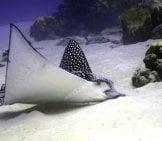 Graceful Eagle Ray Feeding In A Sandy Bayphoto By: Laszlo Ilyeshttps://Creativecommons.org/Licenses/By/2.0/
