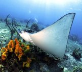 Eagle Ray At The Colorful Ocean Floorphoto By: Tam Warner Mintonhttps://Creativecommons.org/Licenses/By/2.0/