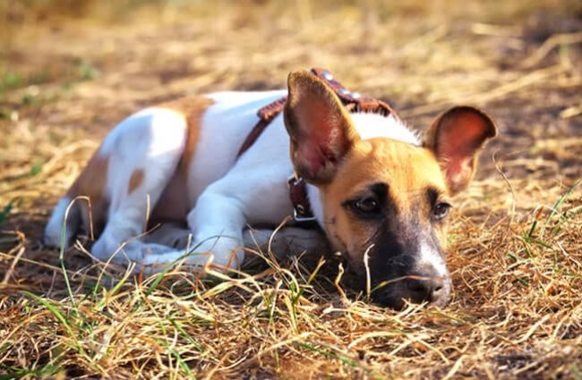 Young smooth fox terrier lying on the grass, fox terrier smooth Photo by: (c) ESOlex www.fotosearch.com