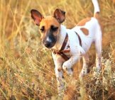 Young Smooth Fox Terrier In The Field, Fox Terrier Smoothphoto By: (C) Esolex Www.fotosearch.com
