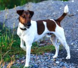 Smooth Fox Terrier Photo By: (C) Deviddo Www.fotosearch.com