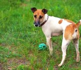 Fox Terrier (Smooth) With A Ball, Smooth Fox Terrier Photo By: (C) Esolex Www.fotosearch.com
