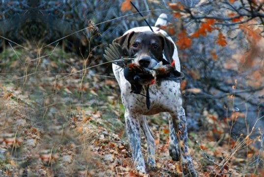 German Shorthaired Pointer retrieving a mountain quail.Photo by: (c) merfythcow www.fotosearch.com