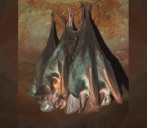 A Pair Of Ghost Bats, At The Alice Springs Desert Park Photo By: By Mark Marathon //creativecommons.org/licenses/by-Sa/3.0