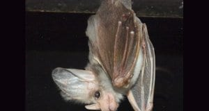 Ghost bat, at the Featherdale Wildlife Park, Sydney, AustraliaPhoto by: By Sardaka https://creativecommons.org/licenses/by-sa/4.0