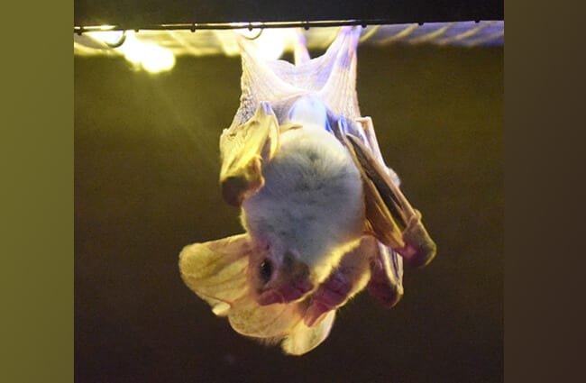 Ghost bat, at the Featherdale Wildlife Park, Sydney, AustraliaPhoto by: By Sardaka //creativecommons.org/licenses/by-sa/4.0