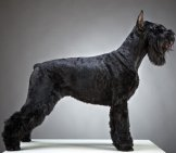 Portrait Of A Black Giant Schnauzerphoto By: (C) Magone Www.fotosearch.com