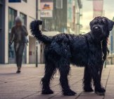 Giant Schnauzer On A Walk In The City Photo By: Breierhajo Https://creativecommons.org/licenses/by/2.0/