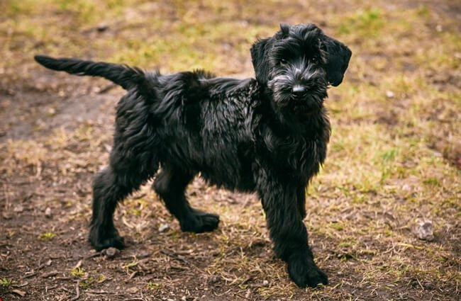 Giant Schnauzer puppy Photo by: (c) ryhor www.fotosearch.com